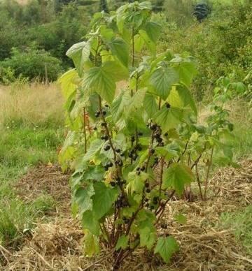 Листья смородины сохнут – что делать?