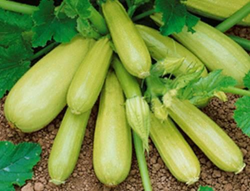 Кабачки для открытого грунта — лучшие сорта и какие семена самые урожайные?