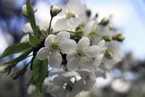 Описание сорта вишни тургеневская