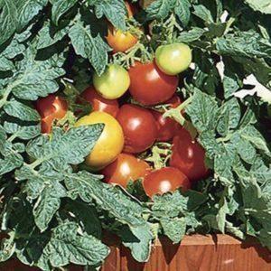 """Томат """"красная шапочка"""": характеристики и описание сорта помидоров"""
