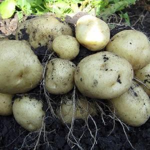 Картофель чародей описание сорта, характеристика, фото