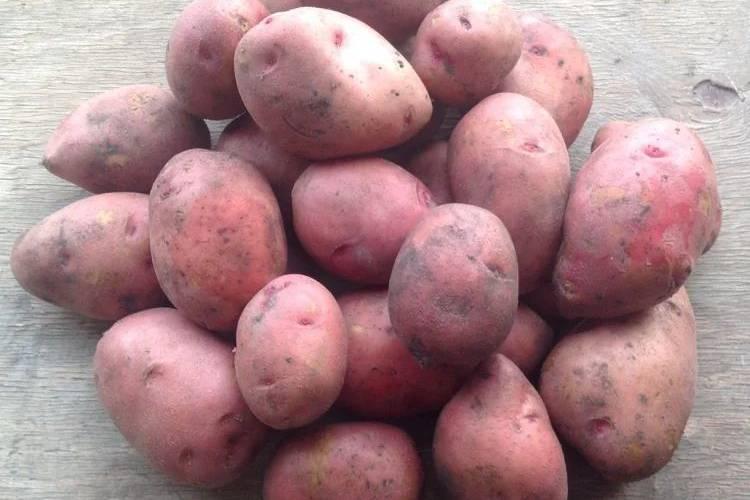 Сорт картофеля «розара»: характеристики, как правильно сажать и ухаживать?