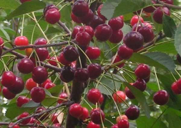Морозоустойчивый сорт, неприхотливый в выращивании — вишня фея