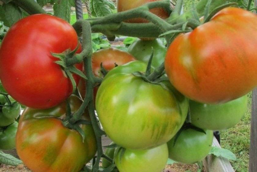 Помидоры богата хата: описание сорта, фото, урожайность