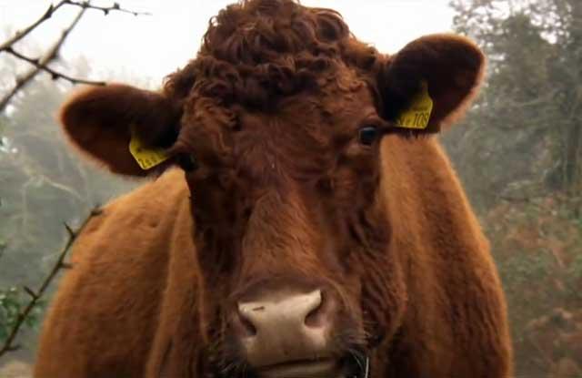 Выделения у коровы: до и после отела, возможные патологические причины |  ветеринарная служба владимирской области