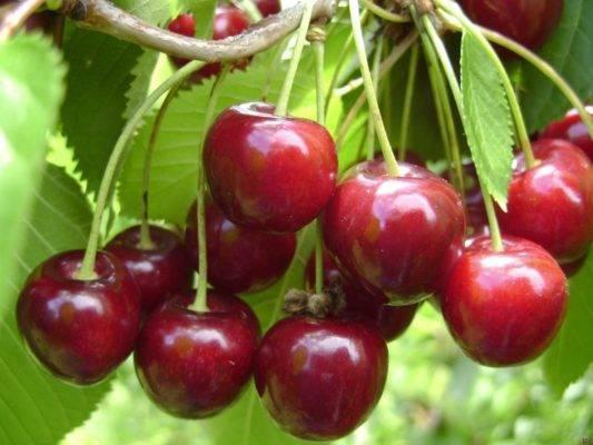 Сорт вишни любская: описание и фото, характеристики, опылители, болезни и вредители