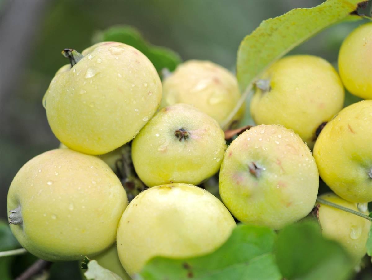О яблоне китайка, характеристики сортов золотистая, керр, золотой налив