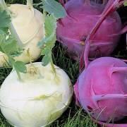 Выбор сорта, уборка и хранение капусты кольраби на зиму в домашних условиях и погребе