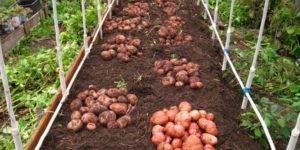 Сорт картофеля «ароза»: характеристика, описание, урожайность, вкусовые качества, отзывы и фото