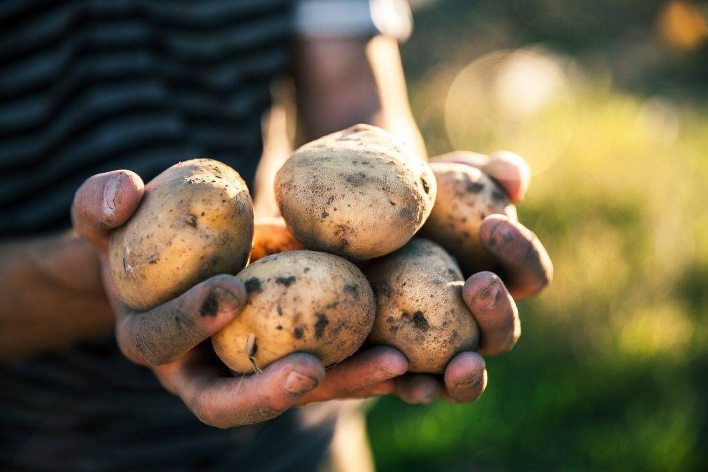 Описание сорта картофеля аврора, фото, отзывы кто сажал