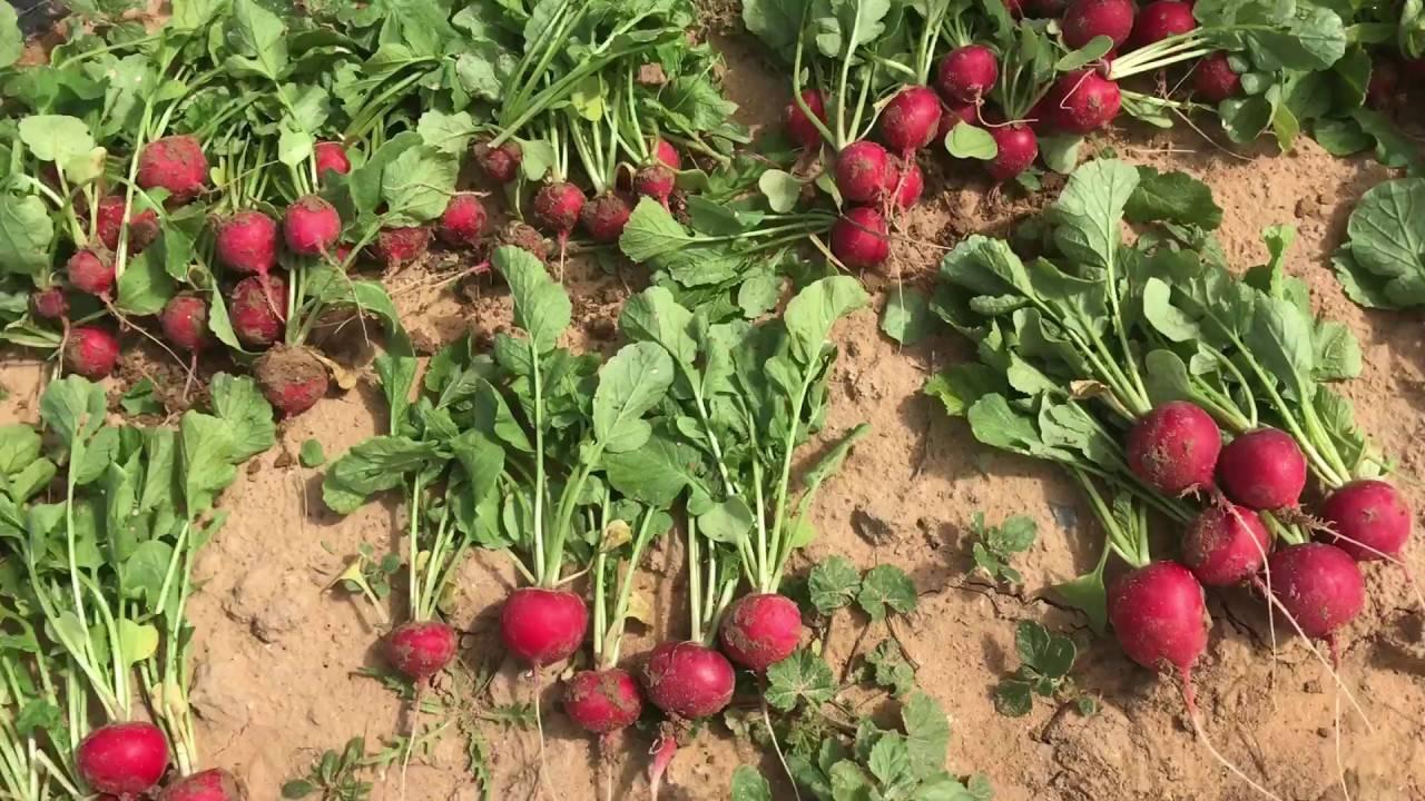 Редис диего: описание, чем отличается от других сортов, когда высевать семена, как собирать и хранить урожай, какие бывают болезни и вредители?