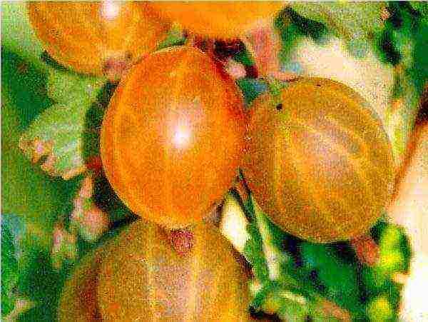 Крыжовник сливовый: характеристика, особенности выращивания и размножения