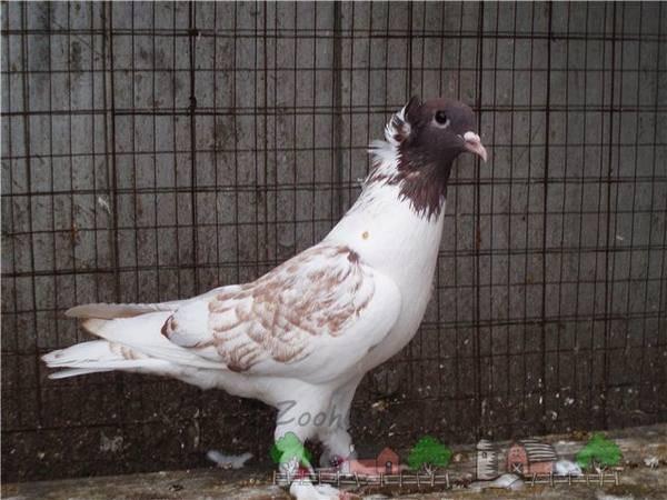 Внешний вид и особенности иранских голубей