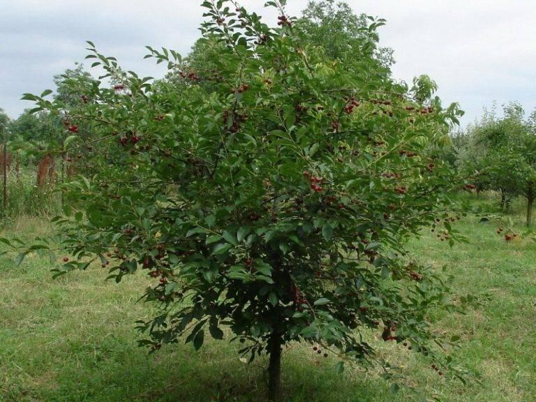 """Вишня """"шоколадница"""". описание сорта и фото. выращивание вишни"""