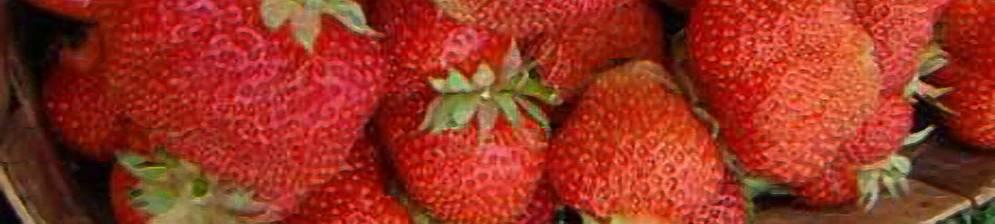 Клубника полка: 130 фото, описание сорта, посадка, отзывы садоводов и особенности выращивания клубники