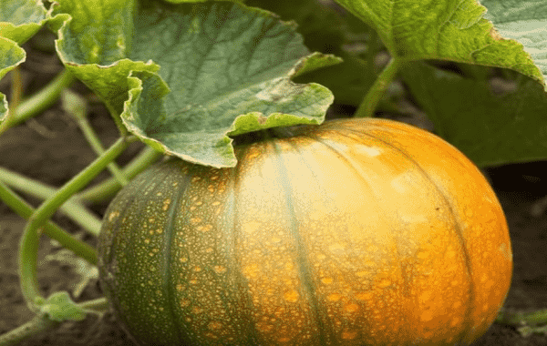 Тыква - посадка и уход в открытом грунте: секреты хорошего урожая