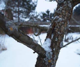 Груша не распускается после зимы — причины, способы решения проблемы