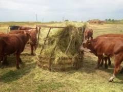 Как и чем кормить дойных коров: нормы, рацион, системы кормления