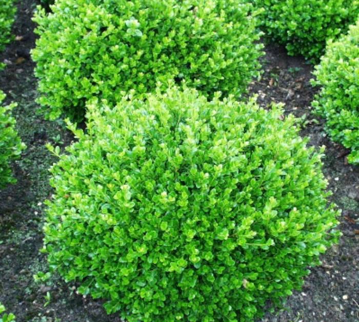 Чем подкормить щавель весной, в осеннее время и после срезки, как удобрять для роста, а также можно ли не подпитывать растение?