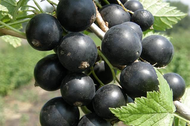 Описание неприхотливого сорта черной смородины гулливер