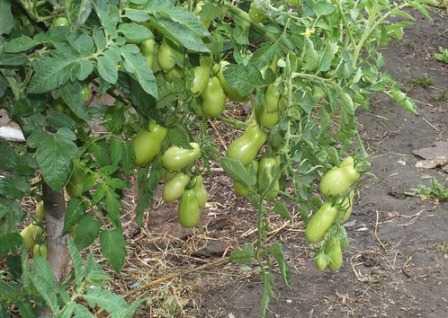 Томат французский гроздевой: характеристика и описание сорта, урожайность, фото, отзывы