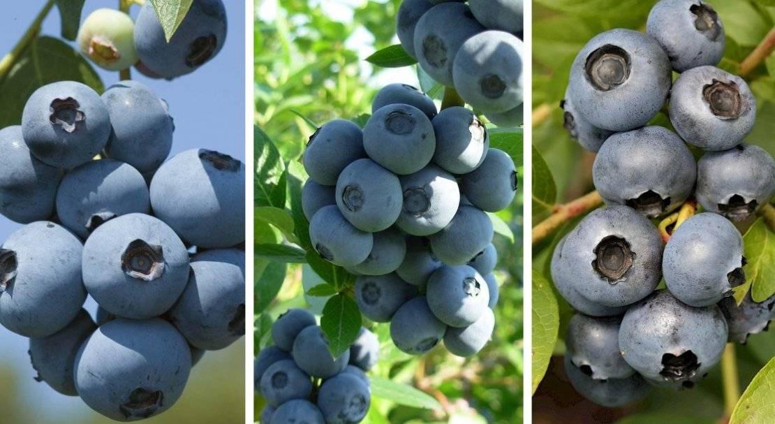 Голубика: сорта и особенности выращивания в регионах