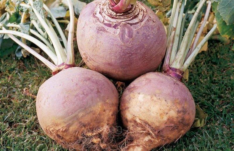 Семена брюквы: когда и после чего сажать овощ, как сеять в открытый грунт и на рассаду, а также сроки выращивания, особенности ухода и возможные трудности