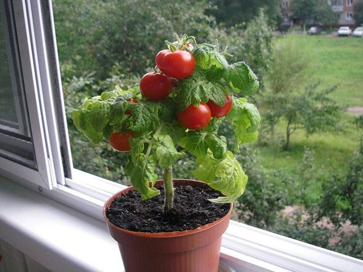 Как вырастить помидоры на балконе: пошаговая инструкция с фото