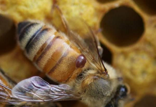 Как лечить акарапидоз у пчел
