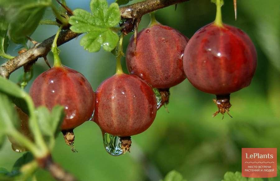 Описание и выращивание сорта крыжовника грушенька