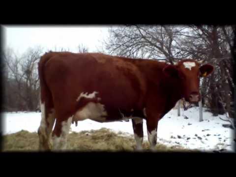 Красная степная порода коров: описание, уход и кормление