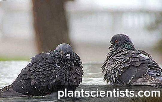 Кокцидиоз (кровавый понос)   враги и болезни голубей   все о голубях   литература / наша-природа.рф