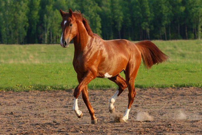 Тракененская порода лошадей (29 фото): характеристика жеребят породы тракен, характер коней