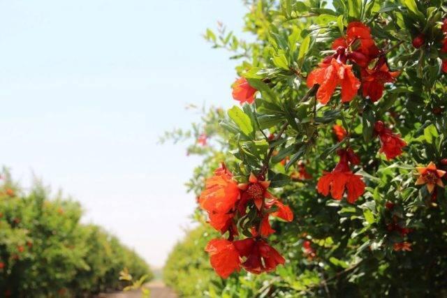 Как и когда цветет гранатовое дерево в открытом грунте