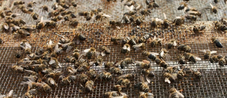 Как и чем лечить аскосфероз пчел (известковый расплод)