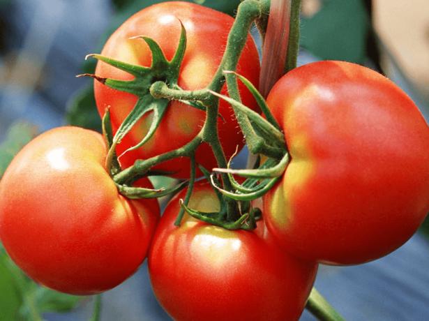 Сорта томатов для средней полосы России