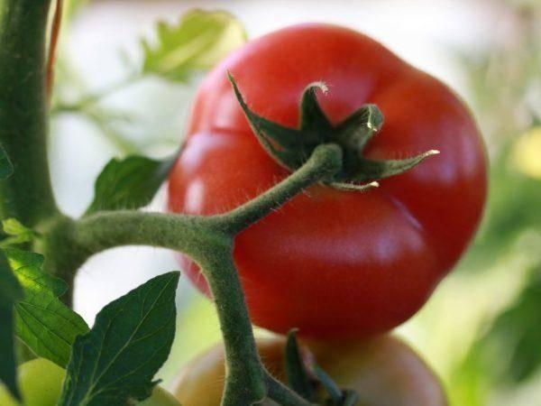 Хлыновский — томат с двумя главными преимуществами: отличным вкусом и хорошей урожайностью