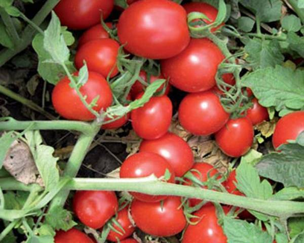 Томат маруся: характеристика и описание сорта, отзывы, фото, урожайность