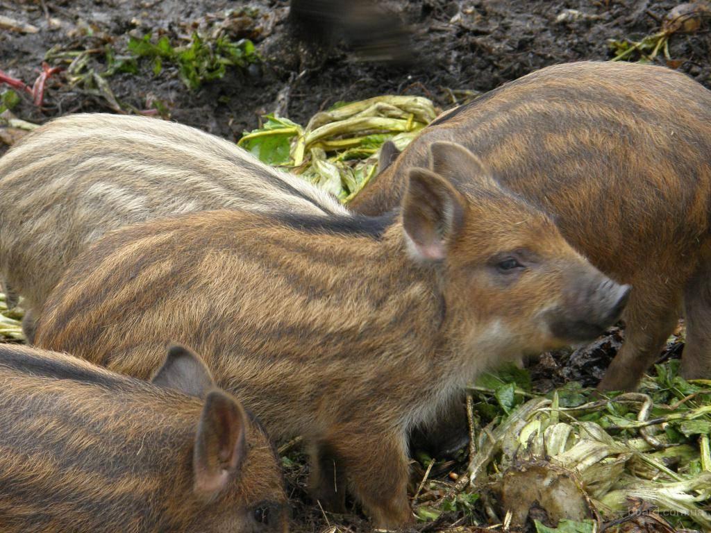 Свиньи породы венгерская мангалица
