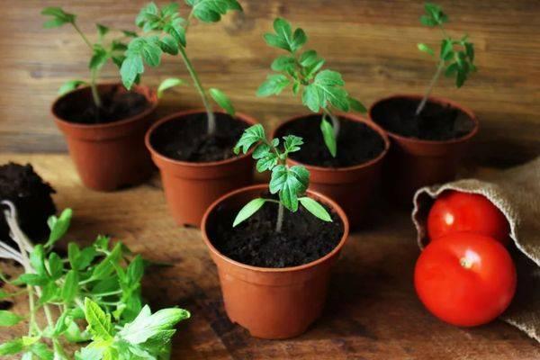 Когда пикировать рассаду томатов
