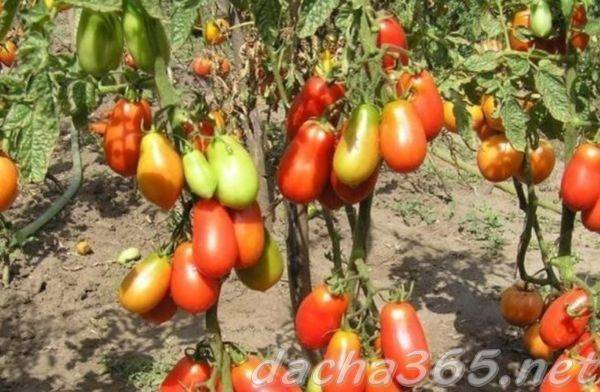 Некапризный в уходе и идеально подходящий для засолки томат «французский гроздевой»: обзор сорта и нюансы ухода