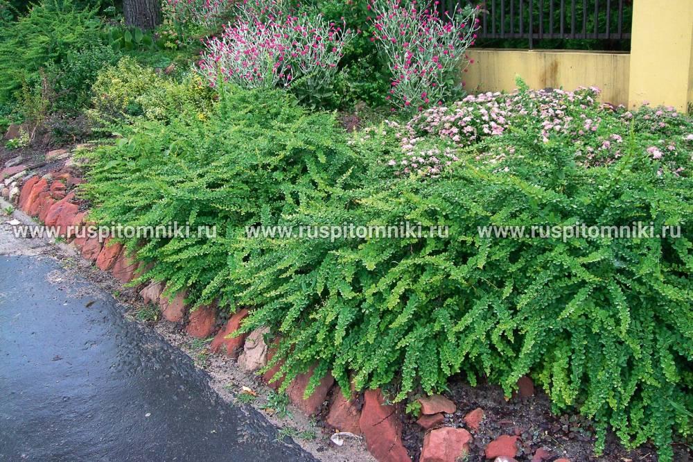 Барбарис тунберга 'грин карпет, в дизайне сада, фото, посадка, выращивание, уход, применение