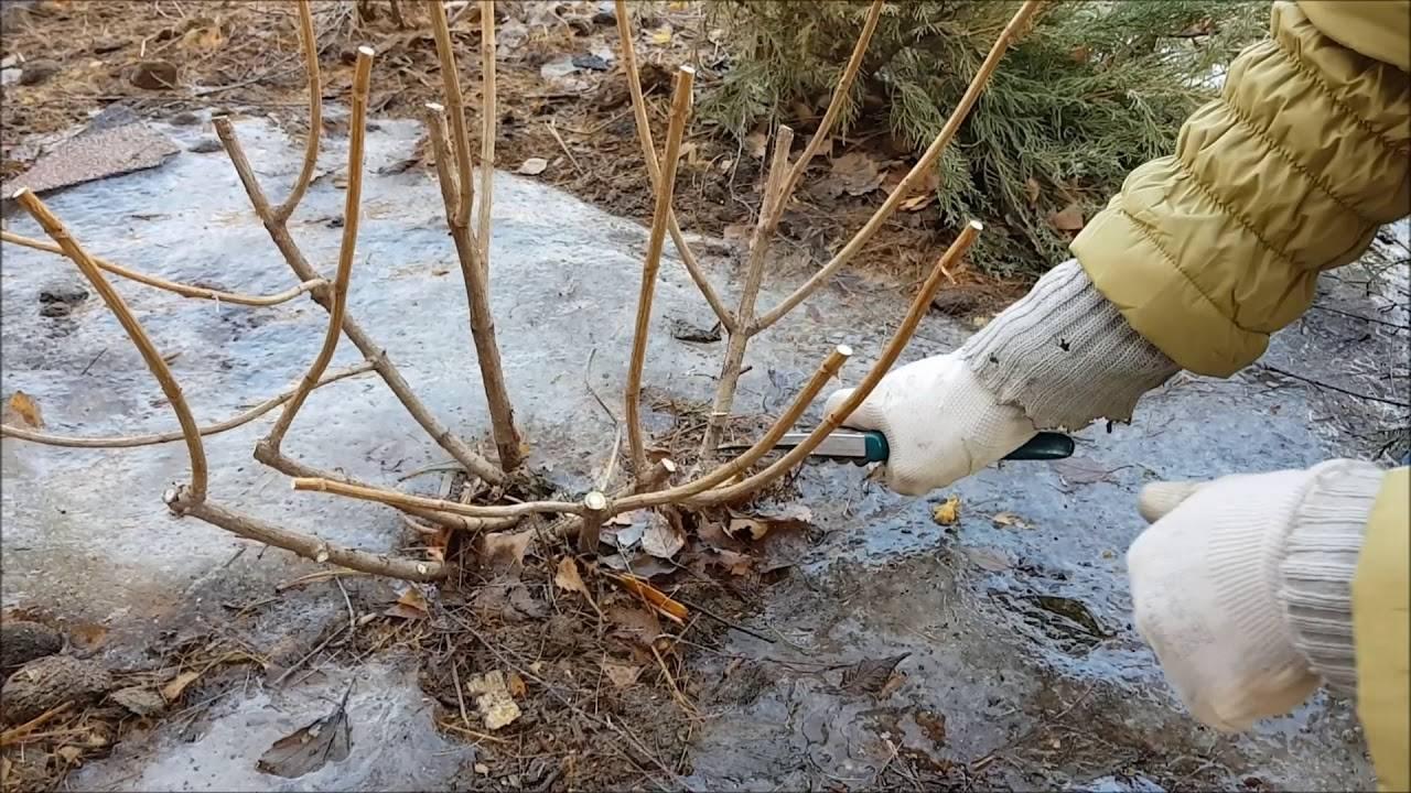 Гортензия даймонд руж: как выращивать в открытом грунте, особенности сорта