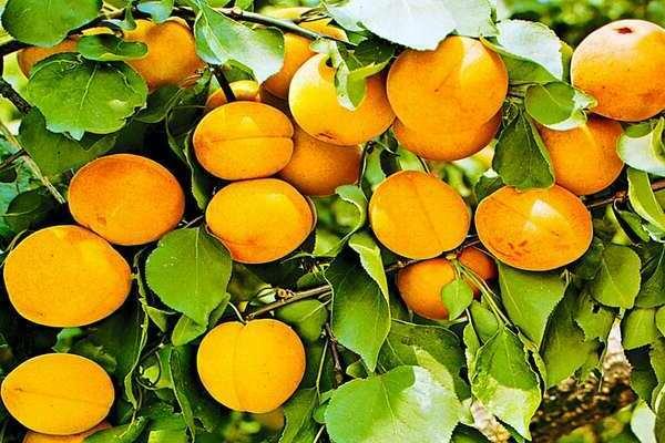 Сорт абрикос хабаровский