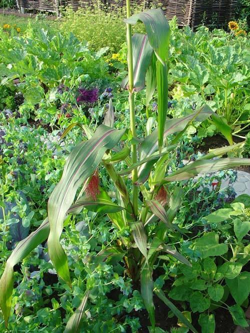 Кукуруза: выращивание из семян, фото, посадка и уход в открытом грунте, виды и сорта