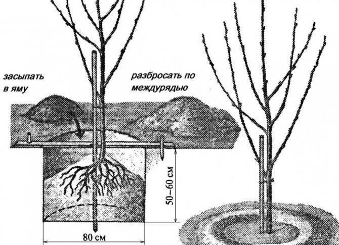 Посадка вишни весной и осенью: как сажать дерево правильно, выбор саженца для тёплых и холодных регионов, почему посадить надо вовремя