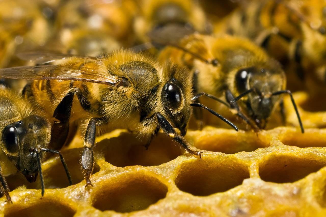 Как нужно ухаживать за пчелами: уход для начинающих, метод цебро в пчеловодстве