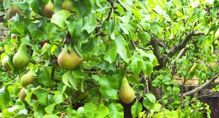 Груша бере: описание и характеристика 14 разновидностей сорта, правила выращивания