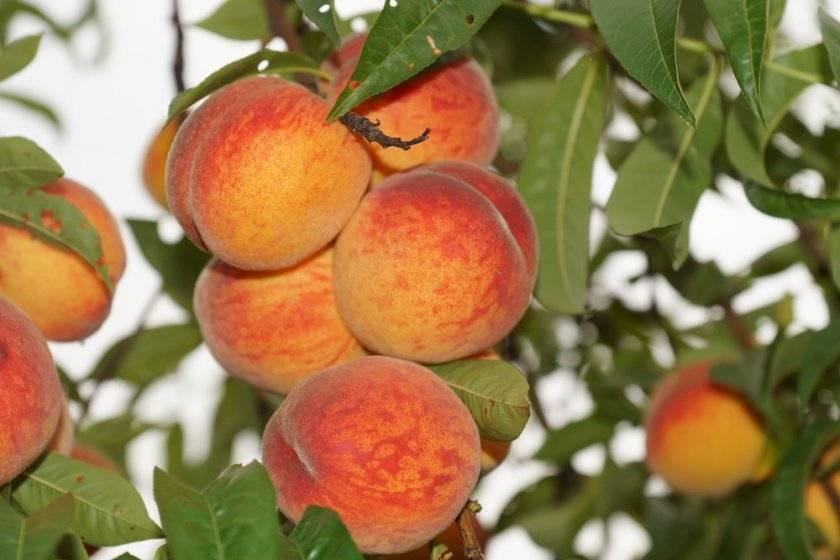 Персик из косточки: посадка и уход