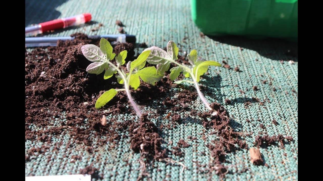 Когда и как пикировать рассаду помидор